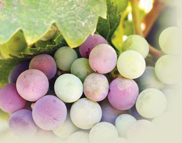 العنب يحمي الجلد والقلب والعيون  170280